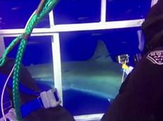 Mergulhador relembra encontro com tubarão branco: